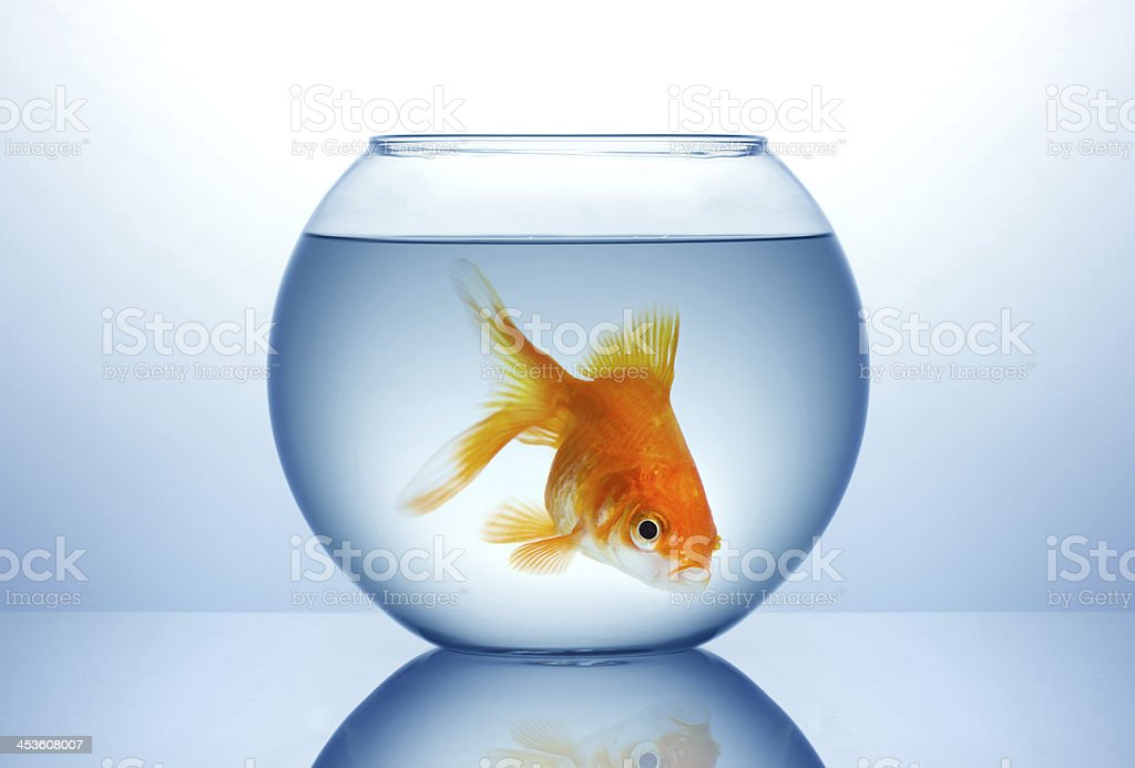 Bowl with gold fish royalty-free stock photo