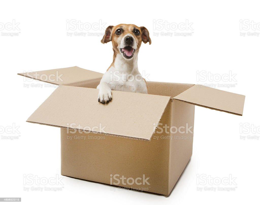 Box Dog stock photo