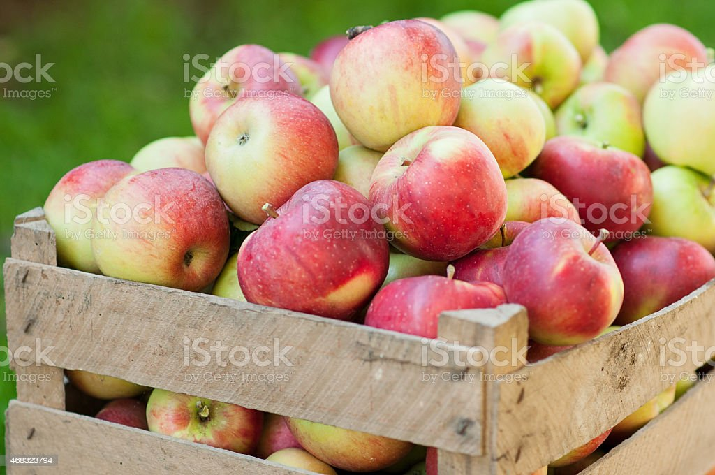 Box filled with harvested autumn apples stock photo