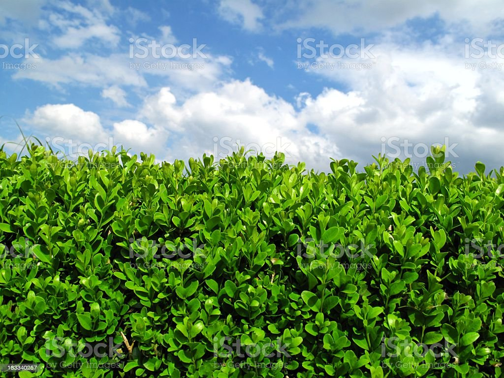 Box hedge stock photo
