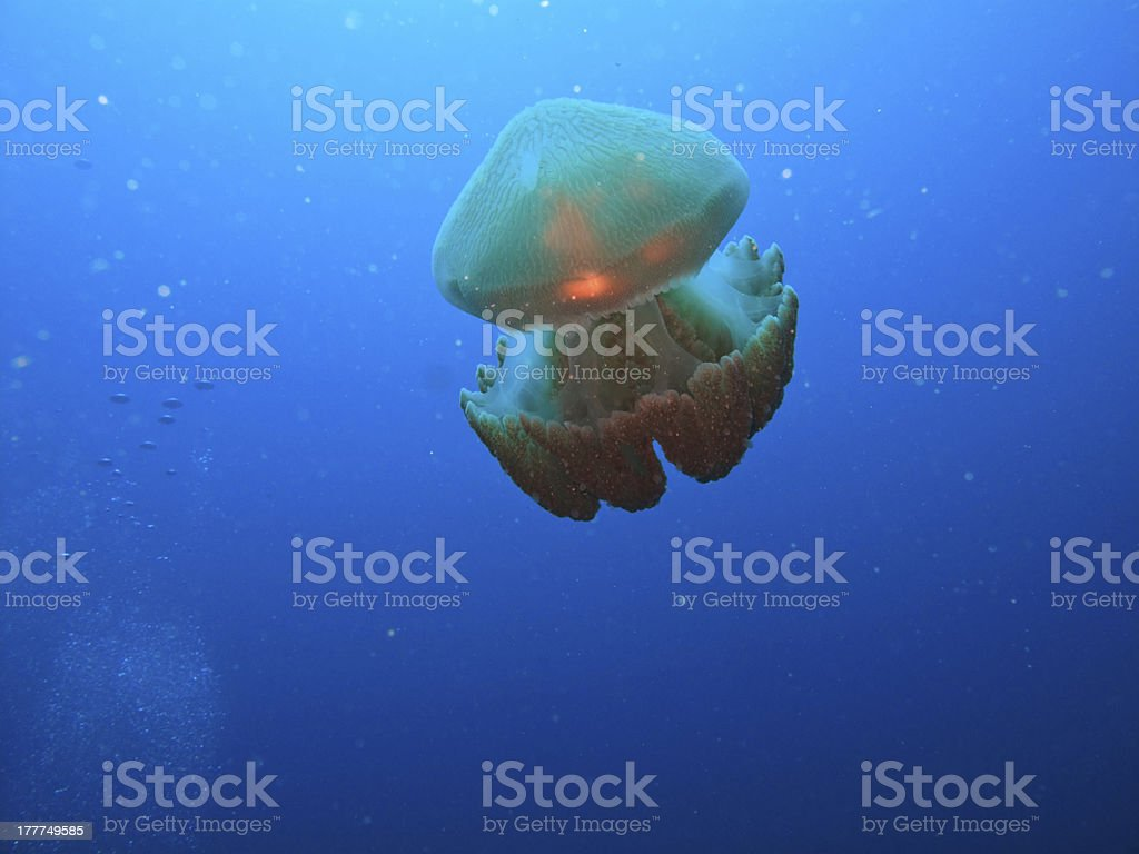 Box jelly fish feeding on Great Barrier Reef Australia royalty-free stock photo