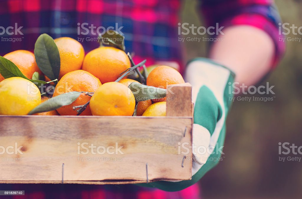 Box of tangerine in the hands stock photo