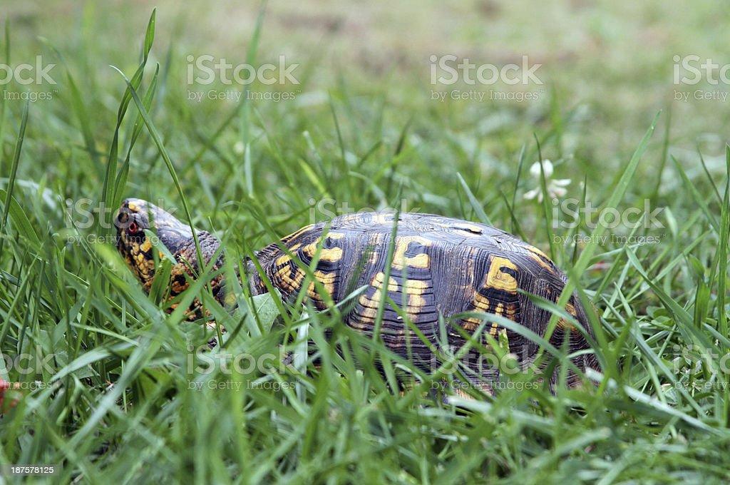 Box Turtle 9 stock photo