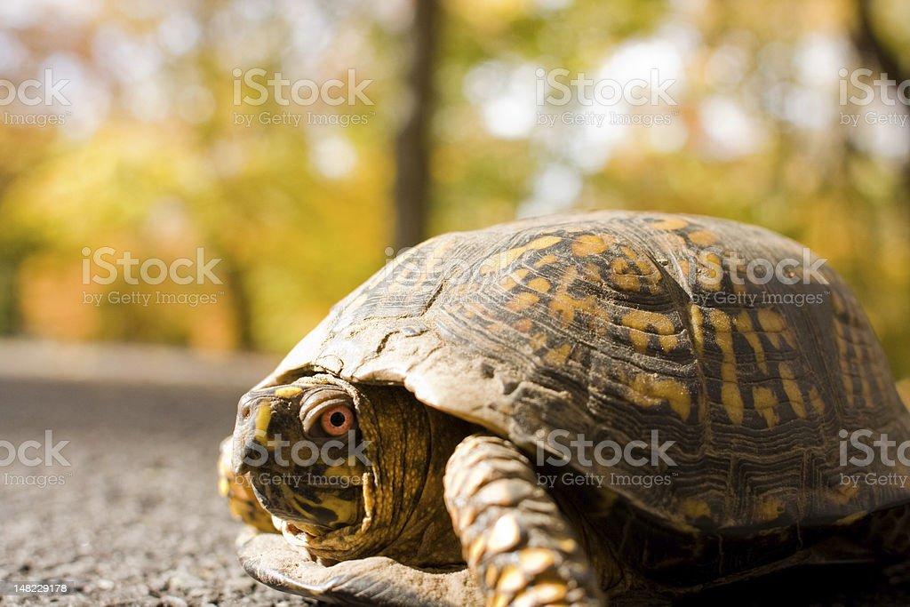 box turtle close up stock photo