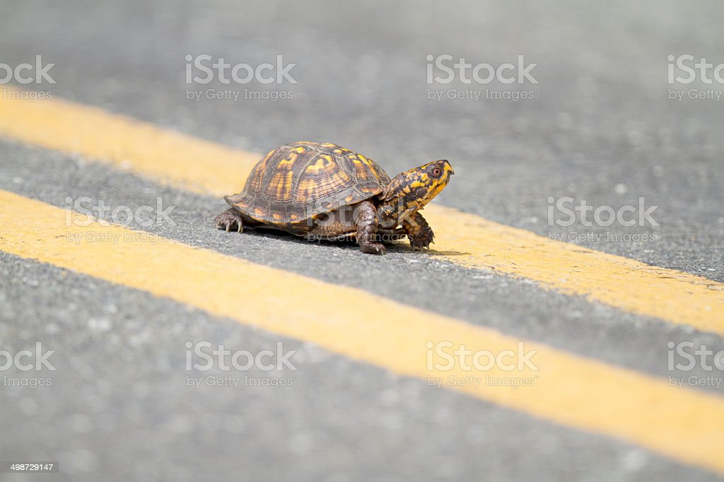 Box Turtle Crossing Road stock photo