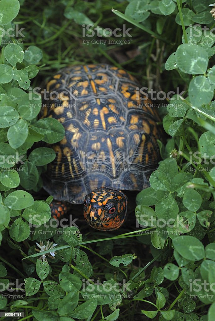 Box turtle in clover stock photo