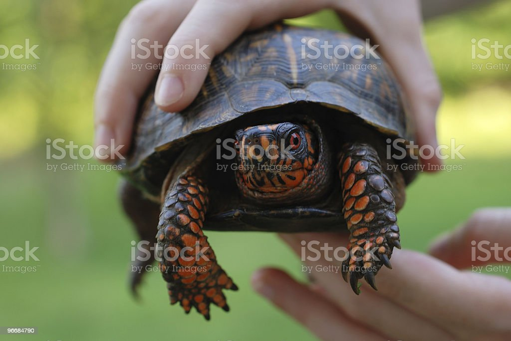 Box turtle in hands stock photo