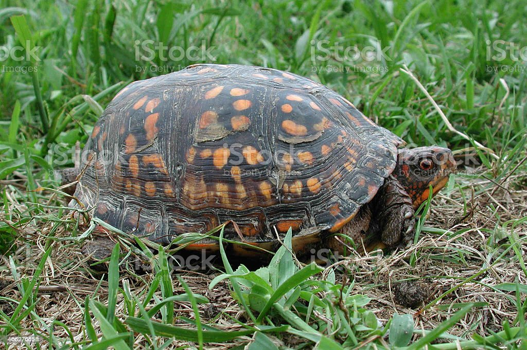 Box turtle just coming out of its shell stock photo