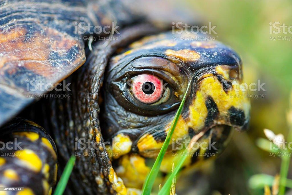 Box Turtle Macro Head Shot stock photo