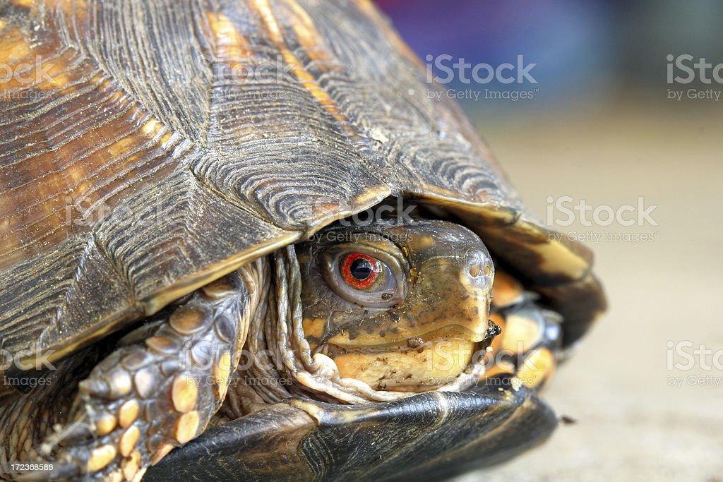 Box Turtle Macro stock photo