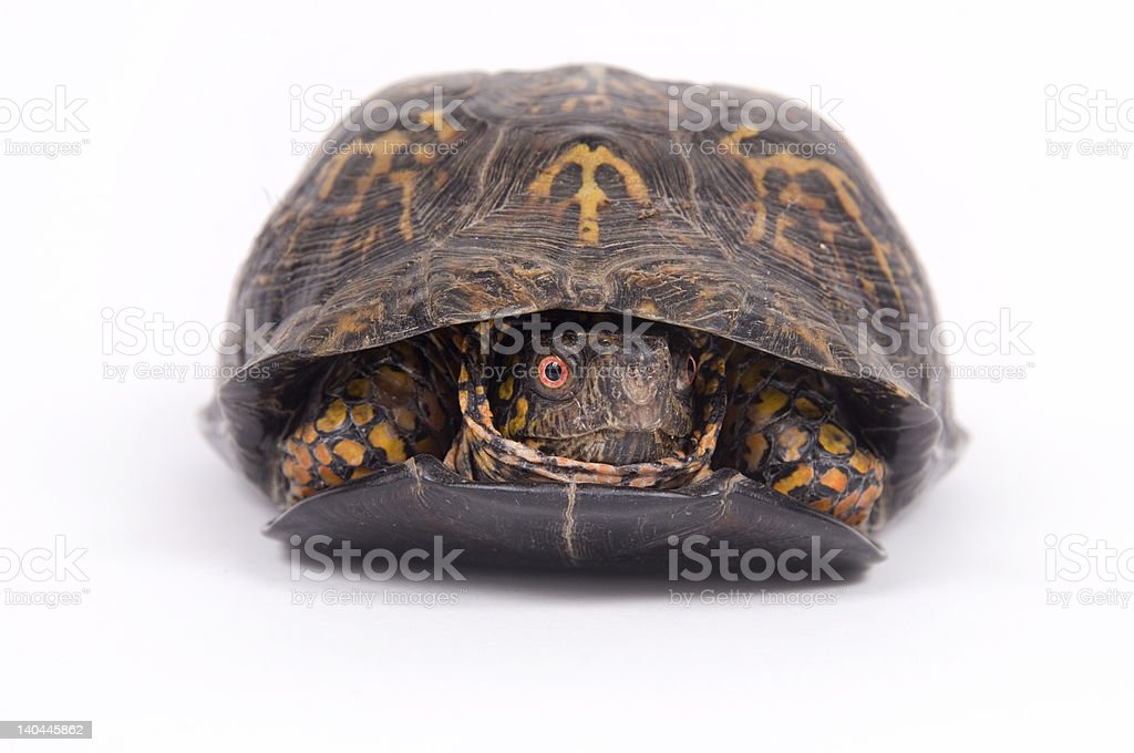 Box turtle on white background royalty-free stock photo