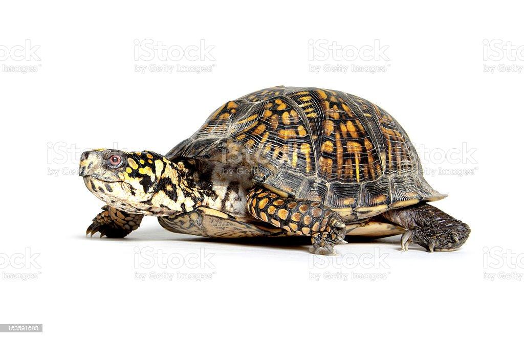 Box turtle on white stock photo