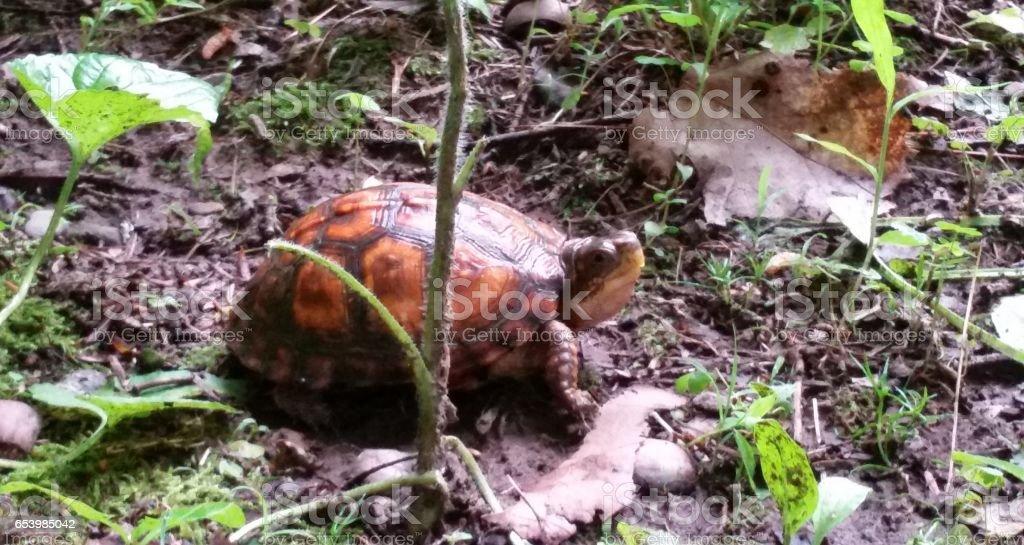 Box Turtle stock photo