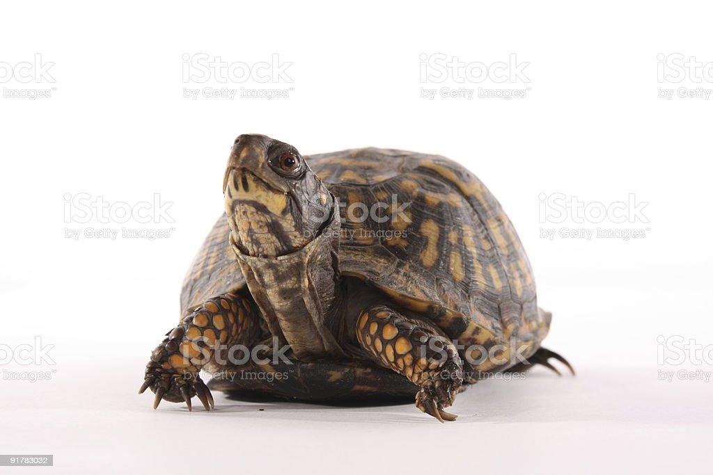Box Turtle royalty-free stock photo