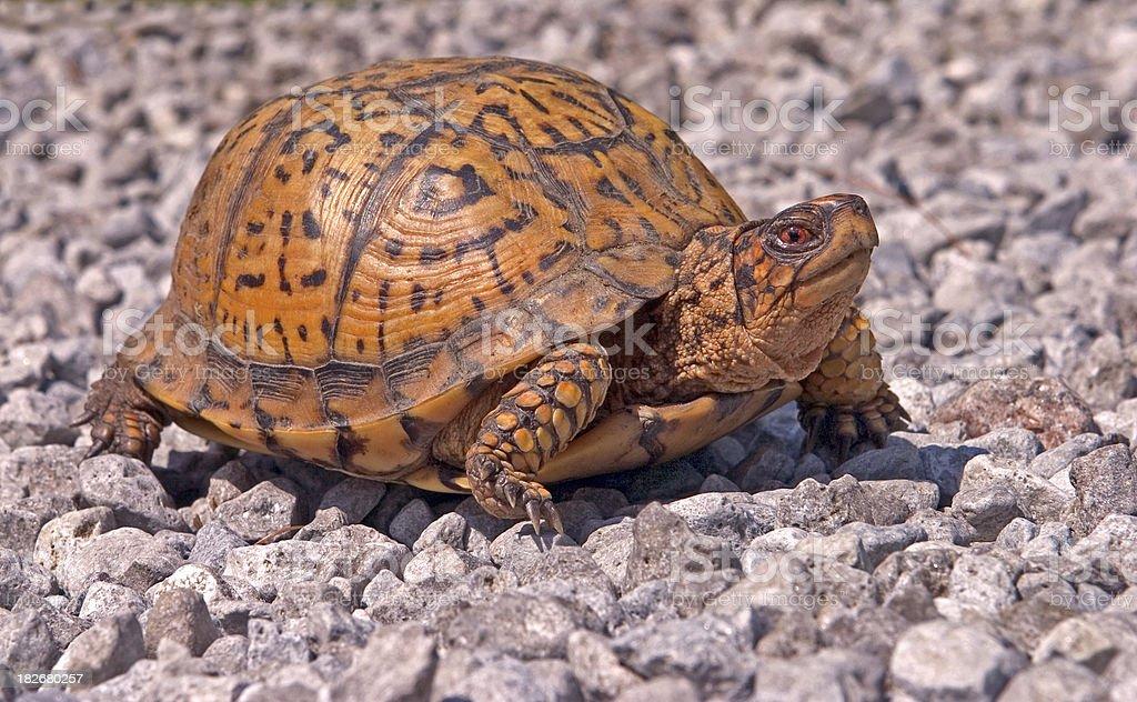 Box Turtle Walking stock photo