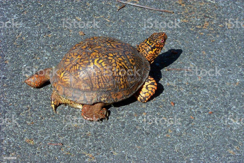 Box Turtle w/path stock photo