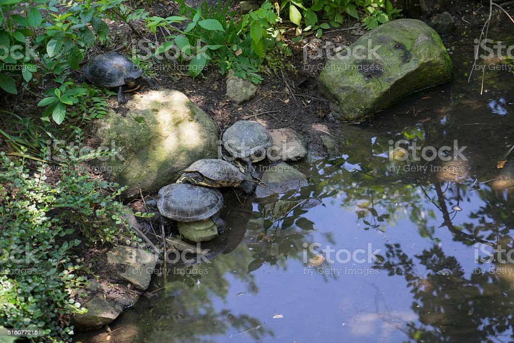 Box Turtles by a pond stock photo