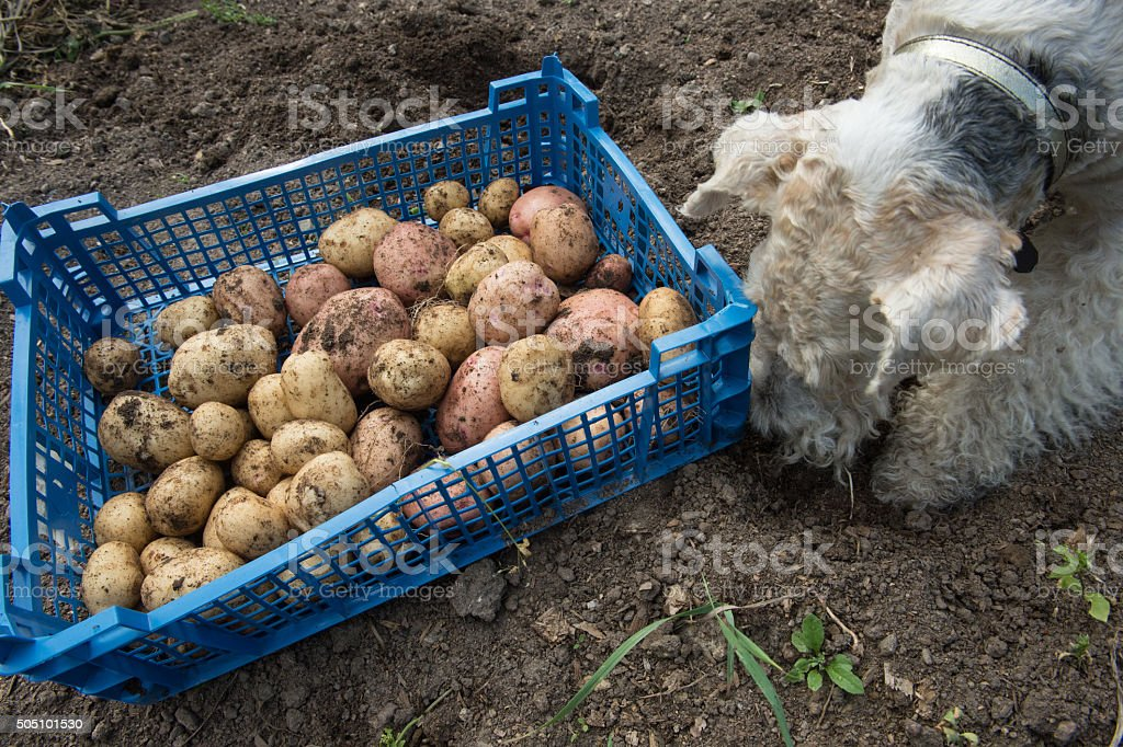 Box with potatoes and a fox terrier stock photo
