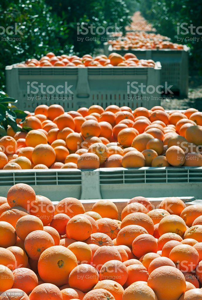 Boxed harvested oranges lining grove in central California stock photo
