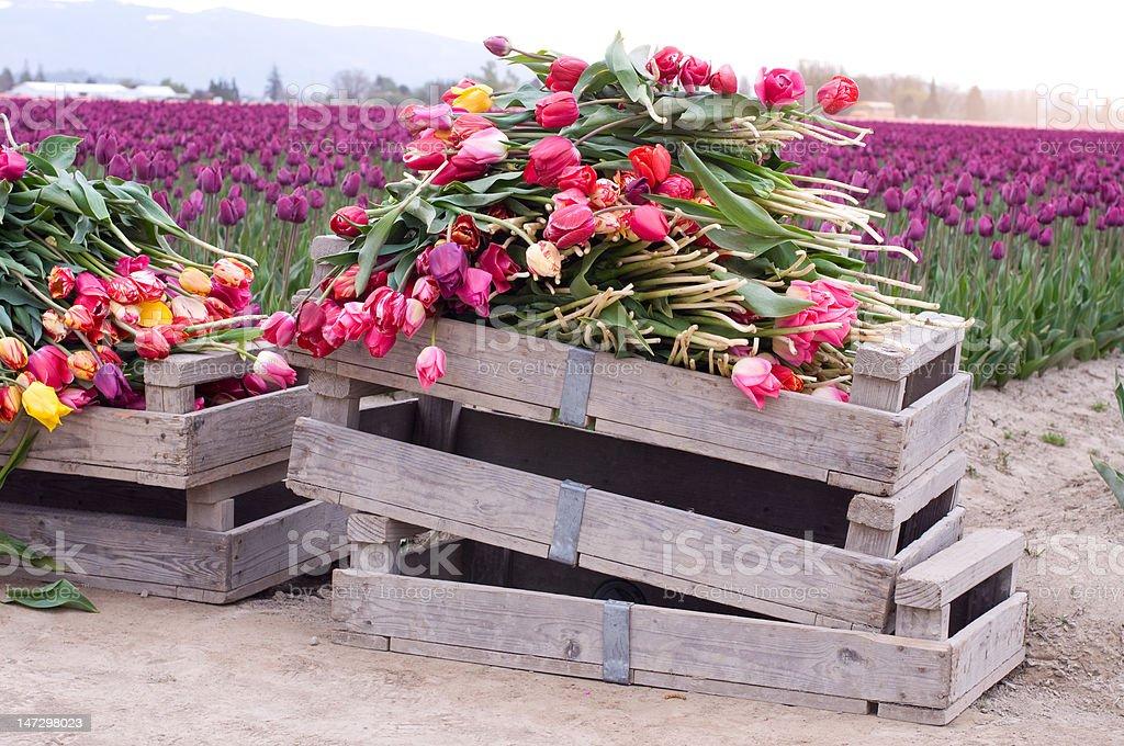 Boxed Tulips stock photo