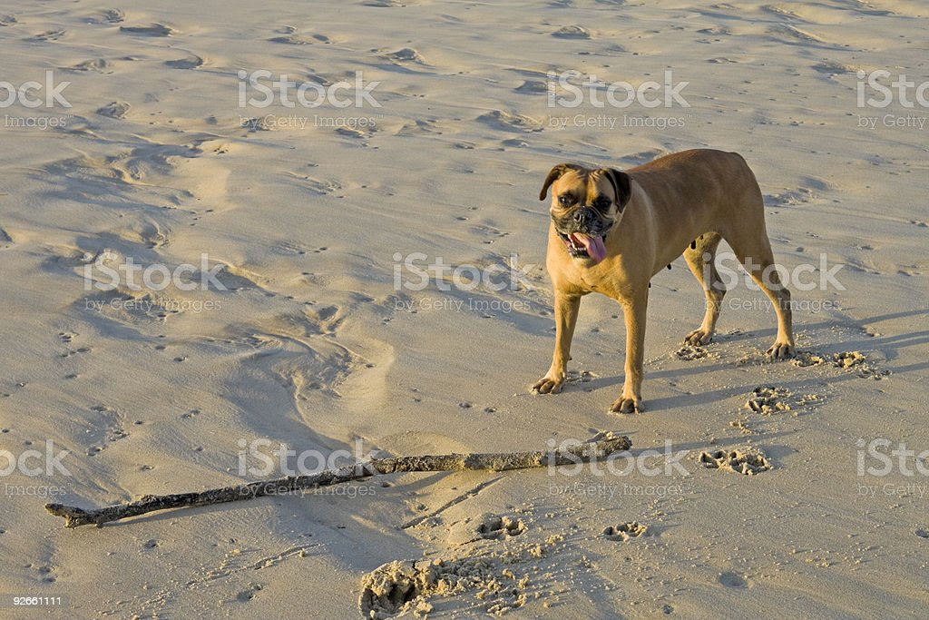 Boxer at the beach royalty-free stock photo