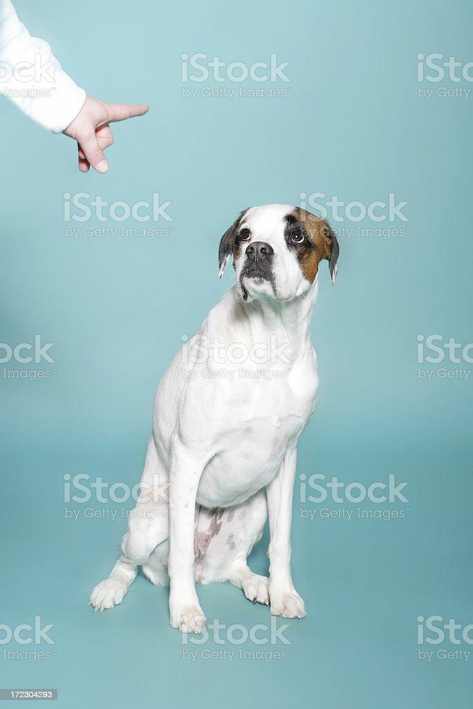 Boxer Bad Dog stock photo