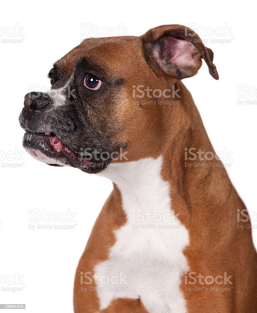 Boxer close-up royalty-free stock photo
