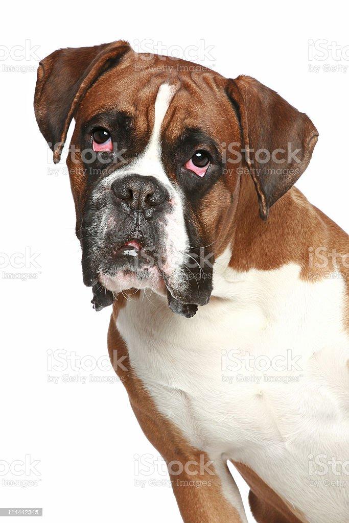 Boxer dog, close-up portrait on a white background stock photo
