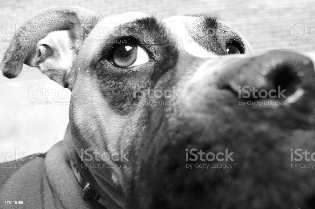 Boxer dog close-up wide angle royalty-free stock photo
