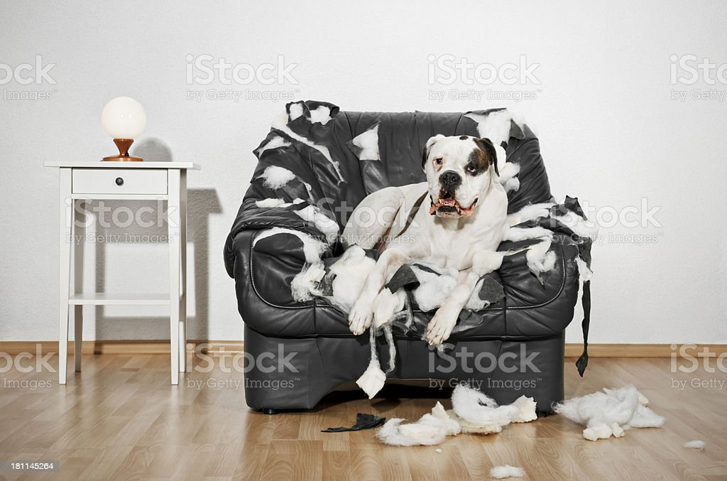 Boxer dog destroyed a leather armchair. stock photo