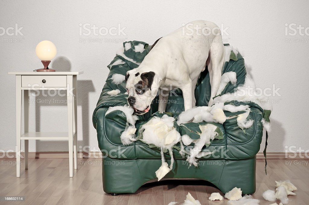 Boxer dog destroys leather chair stock photo