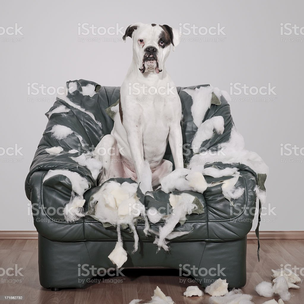 White Boxer dog destroys leather chair.