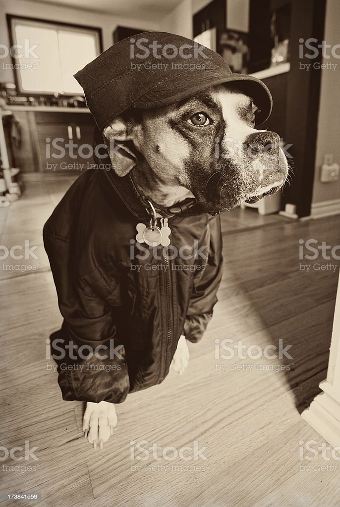 Boxer Dog Dressed Up Funny royalty-free stock photo