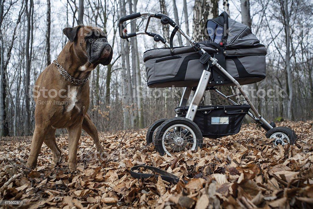 Boxer dog guarding baby stroller royalty-free stock photo