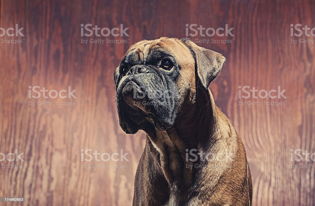 Boxer dog in the car royalty-free stock photo
