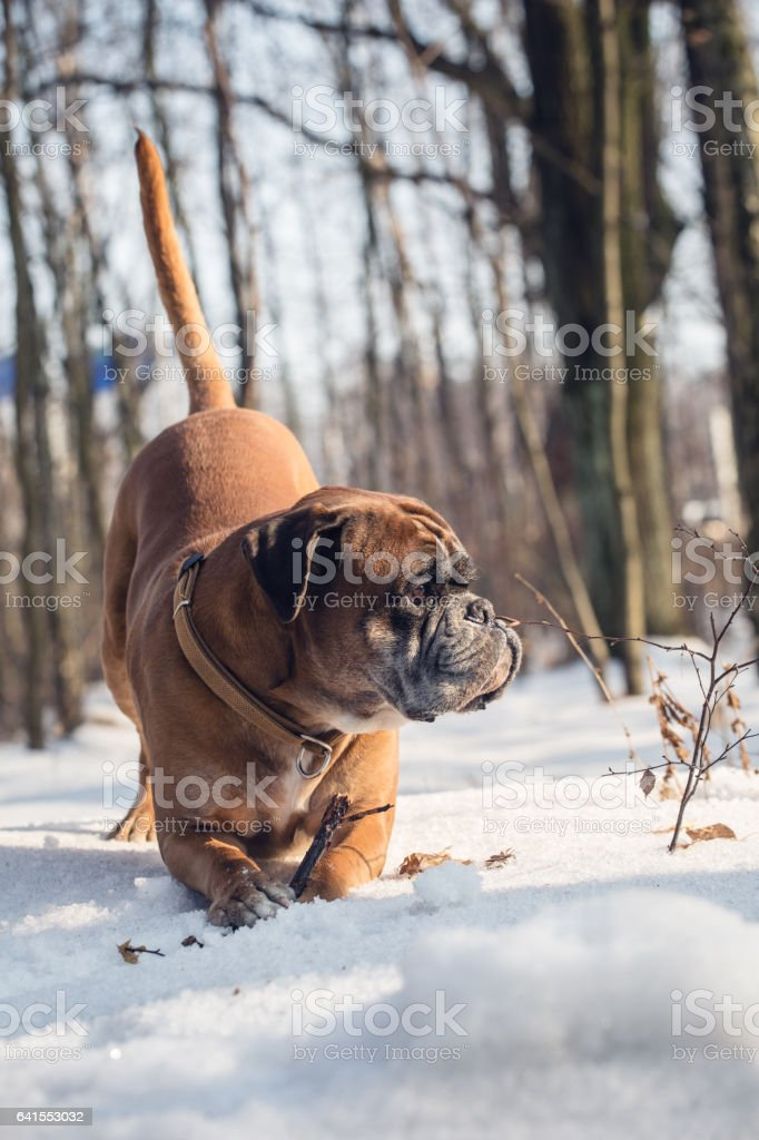 Boxer dog in the snow playing with stick. stock photo
