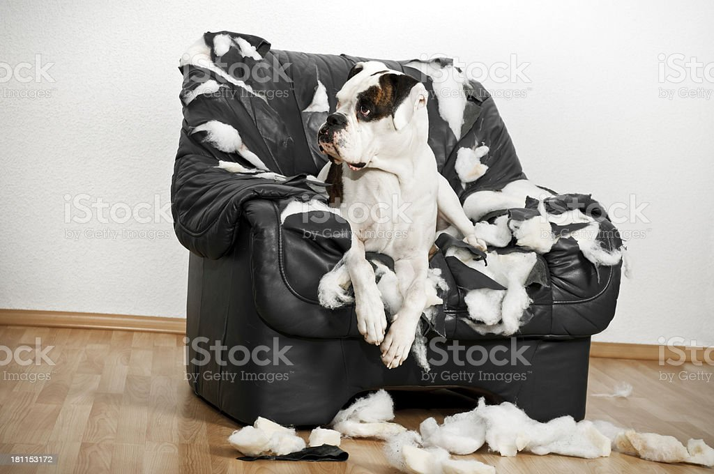 Boxer dog is destroyed on a leather armchair. stock photo