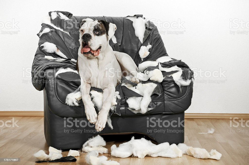 Boxer dog is on a ruined leather chair. royalty-free stock photo