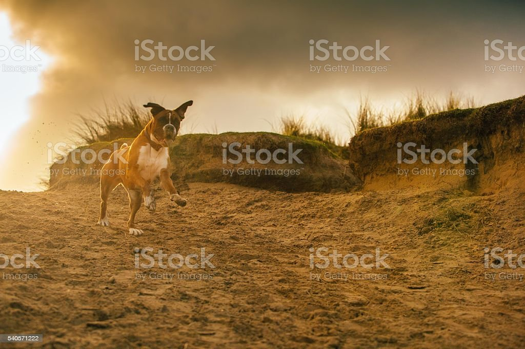 Boxer dog jumping stock photo