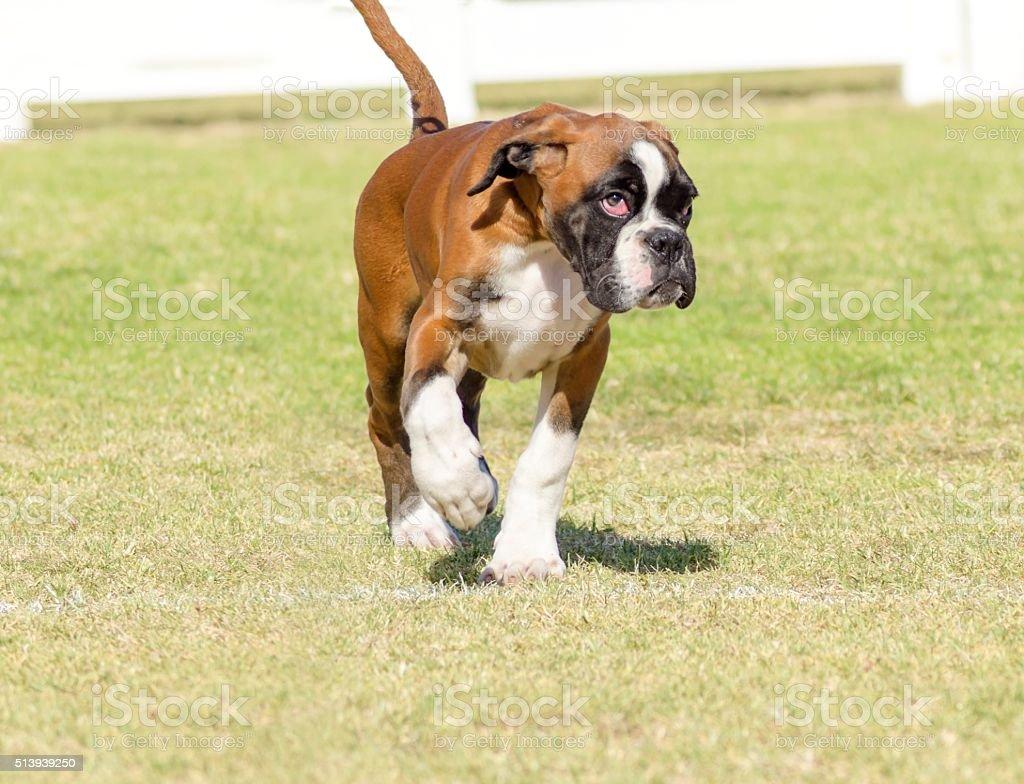 Boxer dog stock photo