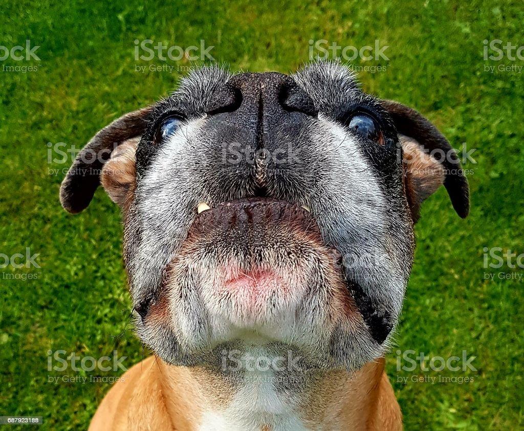 Boxer dog portrait stock photo