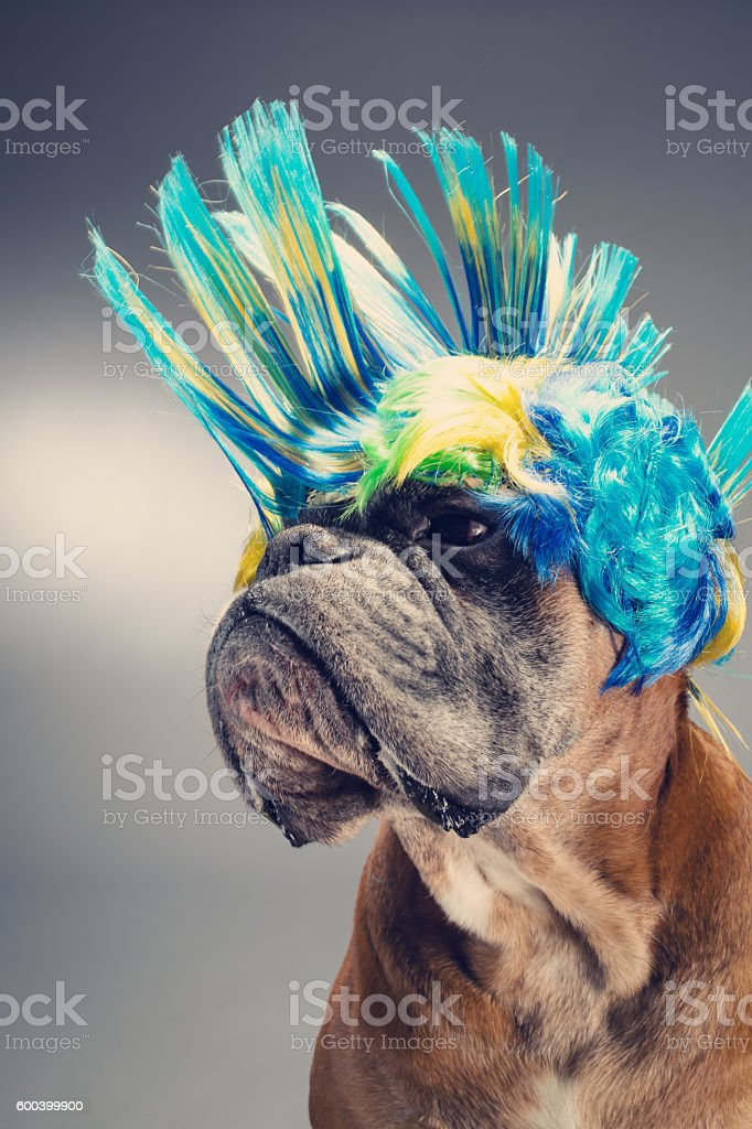 Boxer dog with party wig looking left side. stock photo