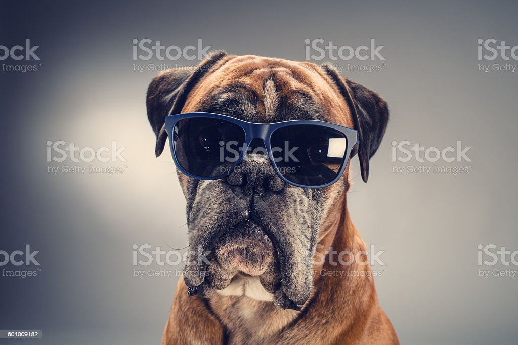 Boxer dog with sunglasses looking ahead. stock photo