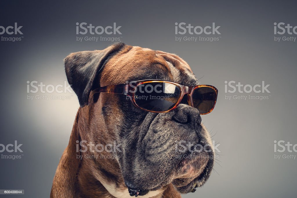 Boxer dog with sunglasses stock photo