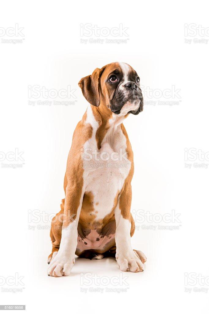 Boxer puppy german stock photo