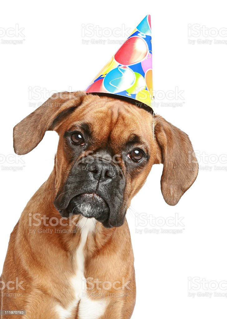 Boxer puppy in party cone on white background royalty-free stock photo