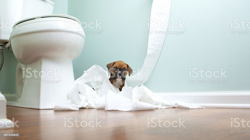 Boxer Puppy In Toilet Paper stock photo