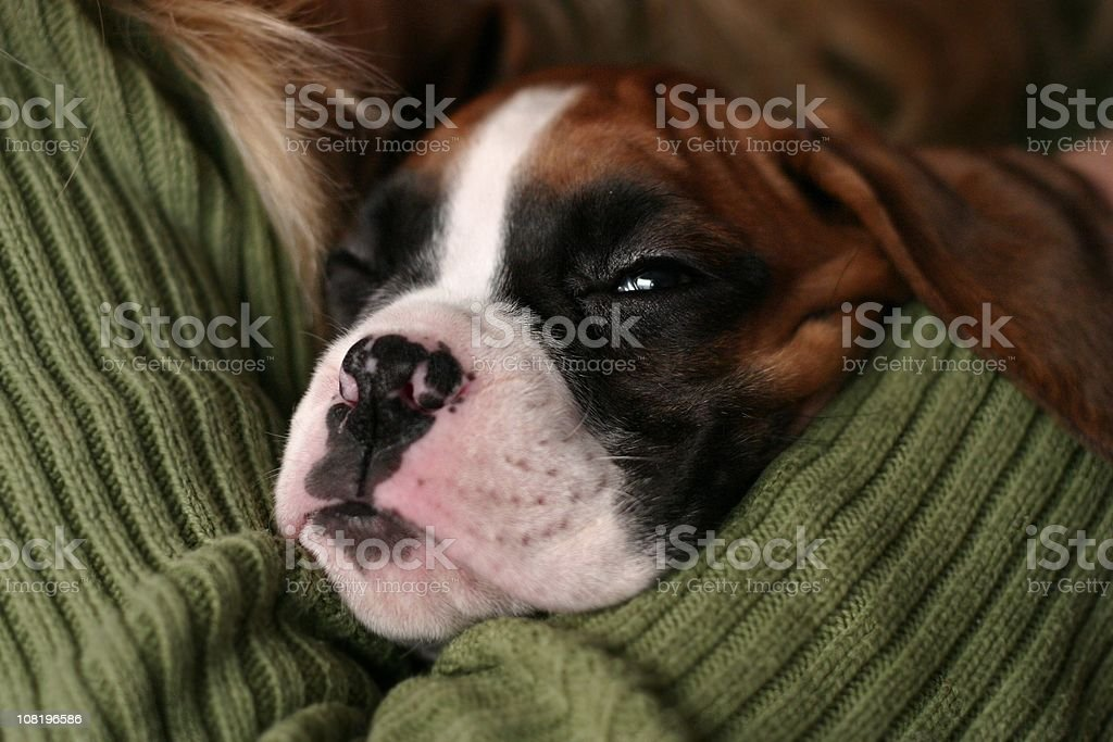 Boxer Puppy, welpe, close-up stock photo