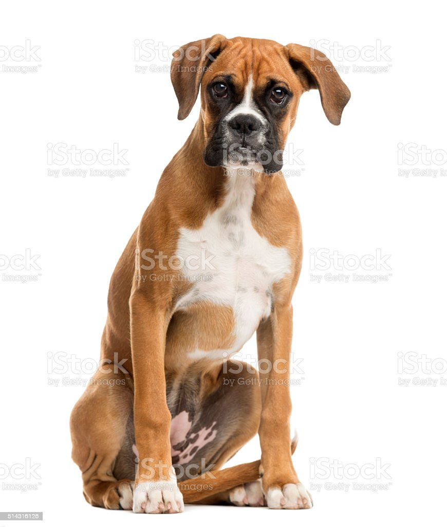 Boxer sitting in front of a white background stock photo