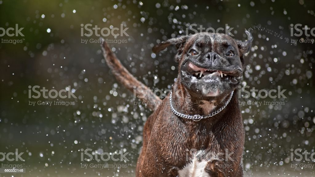 Boxer splashing water stock photo
